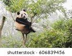 Panda Bear On Bamboo Tree