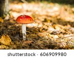 Amanita Muscaria On The...