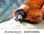 Adorable Face Of A Red Ruffed...