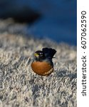 Small photo of American Robin looking for worms