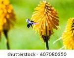 Nectre Red Hot Poker