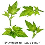 currant leaf collection... | Shutterstock . vector #607114574