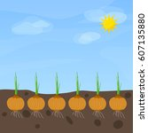 phases of onion growth. flat... | Shutterstock .eps vector #607135880