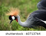 The Beautiful Crowned Crane...