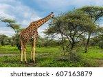 Giraffe Eating Acacia Tree...