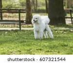 beautiful white poodle in the... | Shutterstock . vector #607321544