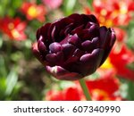 Dark Purple Tulip Black Hero...
