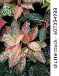Small photo of aglaonema commutatum plant in nature garden