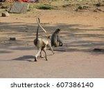 gray langur monkey langurs... | Shutterstock . vector #607386140