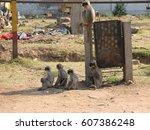 gray langur monkey langurs... | Shutterstock . vector #607386248