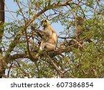 gray langur monkey langurs... | Shutterstock . vector #607386854