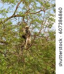 gray langur monkey langurs... | Shutterstock . vector #607386860