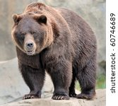 Male grizzly bear (Ursos arctos) - stock photo