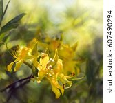 sunny yellow rhododendrons... | Shutterstock . vector #607490294