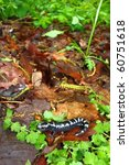 Small photo of Marbled Salamander (Ambystoma opacum) - Monte Sano State Park, Alabama