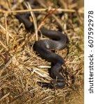 Small photo of Dark colored European Adder, Vipera berus, head in focus, body blured Norway