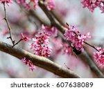 Redbud Blossoms In Springtime...