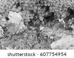 Small photo of Paraponera clavata in web - black and white