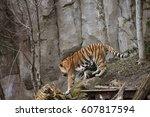 siberian tiger or amur tiger... | Shutterstock . vector #607817594