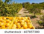 fruit boxes full of lemons in a ... | Shutterstock . vector #607857380
