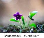 viola odorata  sweet violet ...