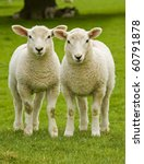 Twin Lambs Watchful Of The...