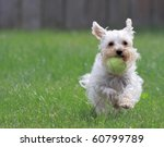 Stock photo cute white dog runs toward camera with ball in her mouth 60799789