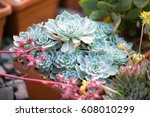 Turquoise Succulent Echeveria...