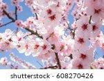 cherry blossom in the neckar... | Shutterstock . vector #608270426