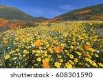 California Golden Poppy And...