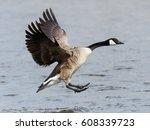 Canada Goose Landing On Water