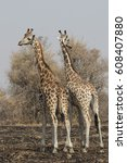 Two Giraffes Standing With...