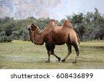 a bactrian camel  camelus... | Shutterstock . vector #608436899