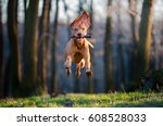 Stock photo flying hungarian pointer hound dog 608528033