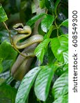 Small photo of Snake,Green pit viper, Asian pit viper, Trimeresurus (Viperidae) on branch in nature