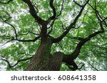 a big tree with luxuriant... | Shutterstock . vector #608641358