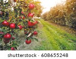 Organic Apples Hanging From A...
