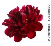Peony flower of dark burgundy...