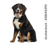 Bernese Mountain Dog Sitting  ...