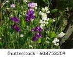 Beautiful Flowers Of Sweet Pea...