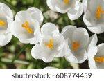 blossoming crocuses flowers | Shutterstock . vector #608774459