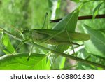 Big Green Grasshopper In The...