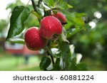 Worcester apples ripening on the tree Hampshire, England. - stock photo