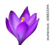 crocus flower isolated on dark... | Shutterstock .eps vector #608823344