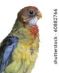 eastern rosella  platycercus... | Shutterstock . vector #60882766