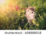 Stock photo little kitten playing on green grass background sunlight 608888018