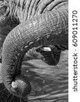 Small photo of Elephant drinking water, curled up trunk and whiskers on mouth, eyelashes, black and white close up portrait