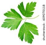garden parsley herb  cilantro ... | Shutterstock . vector #609070118