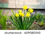 The Little Yellow Daffodil And...