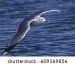 Common Gull  Larus Canus  In...